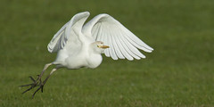 Sprung (opheliosnaps) Tags: bird grass green white jump bif flight cattle egret bubulcus ibis santa rosa california sonoma county usa head wings colorful spring winter liftoff wild nature outdoors stopaction