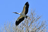 Wood Stork (M. Coppola) Tags: hillsborough florida lettucelakecountypark