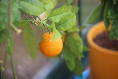 IMG_7264 (Ben936) Tags: flowers plant flora colourful orange fruit greenhouse edible