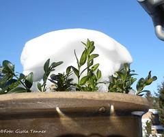 Der Winter ist zurück im Garten! (tannertext) Tags: garten garden derwinteristzurück winterisback