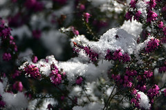DSC_7005 Heidekraut  -  Heather (Charli 49) Tags: charli nature naturfotografie garten pflanze heidekraut heather schnee
