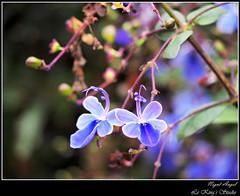 比翼雙飛 • Dancing Together (Le Kings Studio) Tags: blooming flower floral botanical lavender petal tulip blossom flora marguerite violet hydrangea marco