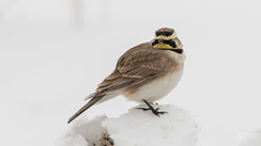 Alouette hausse-col // Horned Lark (Keztik) Tags: alouettehaussecol hornedlark eremophilaalpestris alouette horned shore lark alaudidae bird oiseau wildlife animal nature snow winter hiver neige quebec canada nikon d7500