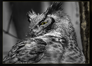 Great Horned Owl / Grand-duc d'Amérique / Bubo virginianus