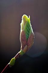 Budding Beauty (Missy Jussy) Tags: bud buddingbeauty magnolia magnoliabud naturallight nature sunlight flower flora garden mygarden leaves stem macro closeup springtime spring canon canon5dmarkll canon5d canoneos5dmarkii 100mm ef100mmf28macrousm ef100mm canon100mm
