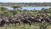 Migration At The Lake (AnyMotion) Tags: bluewildebeest commonwildebeest whitebeardedwildebeest weisbartgnu streifengnu blauesgnu connochaetustaurinus antelope antilope trek wanderung migration lake see 2018 anymotion lakendutu ngorongoroconservationarea tanzania tansania africa afrika travel reisen animal animals tiere nature natur wildlife 7d2 canoneos7dmarkii ngc npc