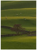 Spring Fields (Alan-Taylor) Tags: green nidderdale fields sheep tree walls yorkshire