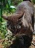 Sparkling Camille (rootcrop54) Tags: camille outdoor outside mackerel tabby female cat sparkles glitter sparkling color mica redclay georgiaclay neko macska kedi 猫 kočka kissa γάτα köttur kucing gatto 고양이 kaķis katė katt katze katzen kot кошка mačka gatos maček kitteh chat ネコ