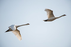 Minsmere Mute Swans