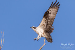 Male Osprey landing sequence - 12 of 28