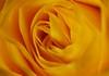 DSC_9000 (PeaTJay) Tags: nikond750 sigma reading lowerearley berkshire macro micro closeups gardens indoors nature flora fauna plants flowers bouquet rose roses rosebuds