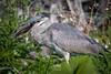 Great blue heron immature, taking on an armored catfish (invasive) (spensered) Tags: heron egret bird birds greatblueheron