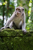Monkey Wall (si_glogiewicz) Tags: monkey monkeys primates wildlife macaque bali indonesia jungle temple macaca fascicularis long tailed crab eating
