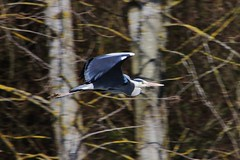 Heron (Hugo von Schreck) Tags: hugovonschreck reiher heron bird vogel