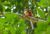 Elegant Trogon (Mario Arana G) Tags: 7d ave bird cr canon costarica eleganttrogon florayfauna marioarana nature naturephotography photography trogonelegans wildlife wildlifecostarica
