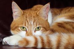 Daft puss cat (diedintragedy) Tags: cat pusscat kittycat petcat straycat gingercat animal pet adoptedcat greeneyes catseyes ginger feline pets