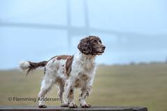 12/52 in fog (Flemming Andersen) Tags: zigzag bridge pet lillebælt dog outdoor fog hund 52weeksfordogs nature animal middelfart regionofsoutherndenmark denmark dk