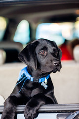 Hey Bailey! (Thomas Hawk) Tags: bailey eastbay blacklab dog labrador puppy fav10 fav25 fav50 fav100