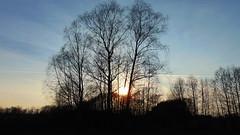 Trees (cutebeets) Tags: trees birch sunshine poland drzewa brzozy zachód słońca polska