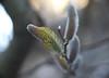 DSC07471 (Old Lenses New Camera) Tags: sony a7r wollensak enlargingproraptar plasmat plants garden pussywillow catkins tree branches macro
