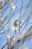 DSC_7607 (Ch_ETO) Tags: sparrow plumblossoms