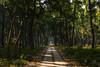 DSC_6740 2 (www.sumanraju.com) Tags: denseforest dhudwanationalpark forest forestmeadows godbeams incredibleindia india neelgai peacock rhino saltrees sumankumarrajur sunbeams tigerreserve rsumanrajugmailcom wwwsumanrajucom dudhwa national park