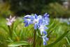 Spring Flora @ SE15 (Adam Swaine) Tags: flowers flora macro peckhamryepark spring naturelovers nature canon londonparks beautiful greenpurple uk petals grass