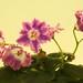 非洲紫羅蘭 Saintpaulia DS-Pinka     [香港花展 Hong Kong Flower Show]