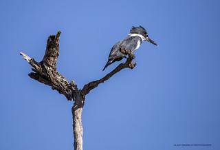 Martin-pêcheur d'Amérique Megaceryle alcyon - Belted Kingfisher