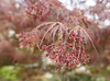 Japanese Maple flowering - Explore! (Monceau) Tags: japanesemaple flowers blooming red leaves macro bokeh covington louisiana 87365 365picturesin2018 365the2018edition 3652018 day87365 28mar18 tree leaf explore explored