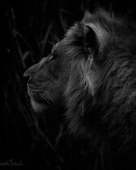 IMGP2935 (nathanmeade_) Tags: lion zoo melbournez00 animal king pentax pntaxian tamron