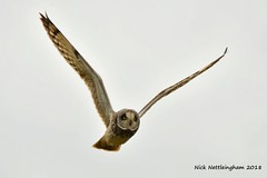 Short-eared Owl 0139 (Nick Nettleingham) Tags: shorteared owl