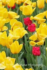 Longwood Gardens Spring 2017 (188) (Framemaker 2014) Tags: longwood gardens kennett square pennsylvania tulips united states america