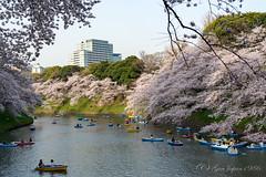 千鳥ヶ淵 (GenJapan1986) Tags: 2018 千代田区 千鳥ヶ淵 東京都 桜 風景 日本 japan tokyo cherryblossom landscape 春 spring