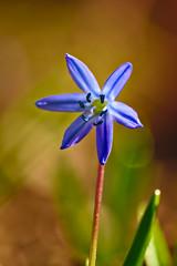 Scilla (pstenzel71) Tags: blumen natur pflanzen samyang100mm28macro scilla scillabifolia blaustern sternhyazinthe darktable bokeh samsungnx flower spring squill alpinesquill