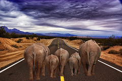 California Girls (Alfred Grupstra) Tags: elephant animal nature mammal wildlife travel outdoors tourism asia large traveldestinations journey landscape 998
