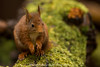 did I hear dinner (washview52) Tags: red squirrels rodents tail small tree green brushy beautiful ears cute rare nature spring
