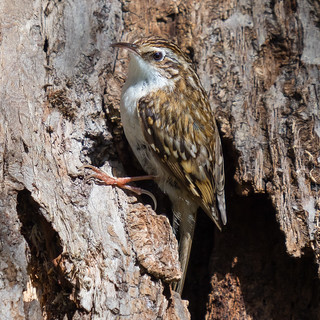 Tree Creeper......