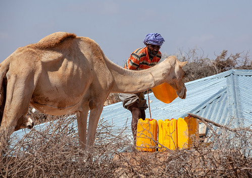 Somali man with his camel collecting water in a well, Dhagaxbuur region, Degehabur, Somaliland