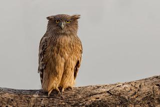 Brown Fish Owl | Ketupa zeylonensis