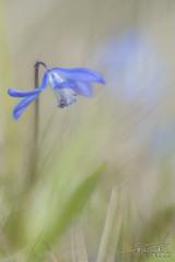 Herbaceous vegetation. (PvRFotografie) Tags: nederland holland lensbaby lente spring nature natuur bloem bloemen flower flowers close closeup blauw blue velvet85 85mm lensbabyvelvet85mmf18 sonyslta99 softfocus