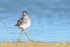 Strike  A Pose (Amy Hudechek Photography) Tags: shorebird yellowlegs migration nikond500 nikon600mmf4 colorado spring nature wildlife amyhudechek lake