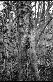 ivy and vine-covered trees, Community Park at Craggy Park, West Asheville, North Carolina, Olympus XA, Arista.Edu 200, Ilford Ilfosol 3 developer, late March 2018
