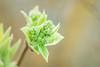 Bourgeon de Lilas (ea_photographie) Tags: canon 5dmarkiv ef100mm macro printemps proxy nature spring centrevaldeloire france fleur