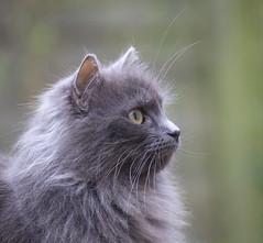 The Grey (S Marwood) Tags: whiskers eye ears canon700d concentrate puss fluffy feline cat pet grey animal