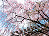 半木之道 (紅襪熊(・ᴥ・)) Tags: sakura 櫻 櫻花 cherryblossoms pink flower flowers blossom blossoms castle cherry cherryblossom cherryblossomfestival cherrytree cherrytrees garden light macro nature park plant sky spring travel tree trees white さくら サクラ 春 桜 花 花見 賞櫻 日本 japan 粉 粉紅 bokeh olympus omd em1 m43 micro43 microfourthirds olympusem1 半木之道