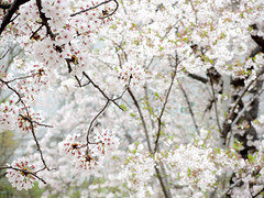 Cherry blossom 櫻花 (MelindaChan ^..^) Tags: jinhae skorea 鎮海 櫻花 櫻 花 tree spring blossom bloom chanmelmel mel melinda melindachan flower plant travel