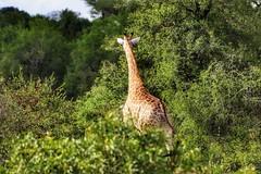 Giraffe im Busch... (D.Purkhart) Tags: giraffe bush wildlife wildanimals animal southafrica mpumalanga kruegernationalpark kruegerpark