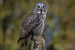"""""""Earl"""", Great Grey Owl, CaptiveLight, Liberty's Owl, Raptor and Reptile Centre, Hampshire, UK"""