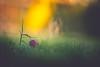 Say Hello... (der_peste (on/off)) Tags: checkeredlily checkeredflower schachbrettblume bokeh dof depthoffield blur flower spring shallowdepthoffield
